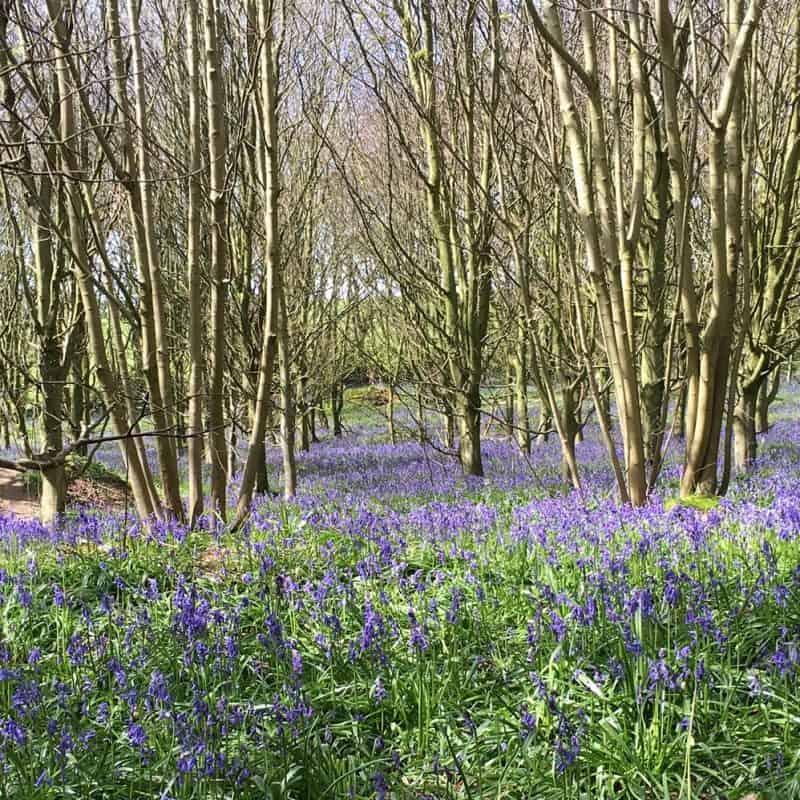 Bluebells in Stanmer Park